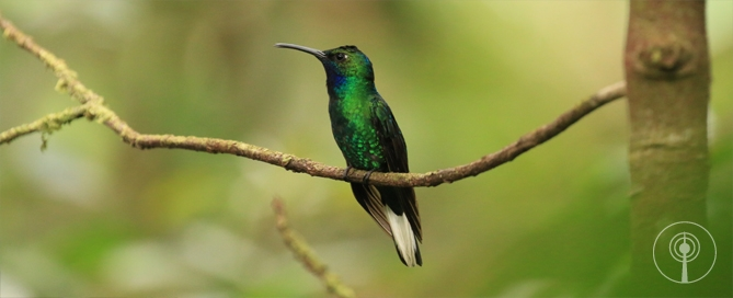 White-tailed Sabrewing in Tobago